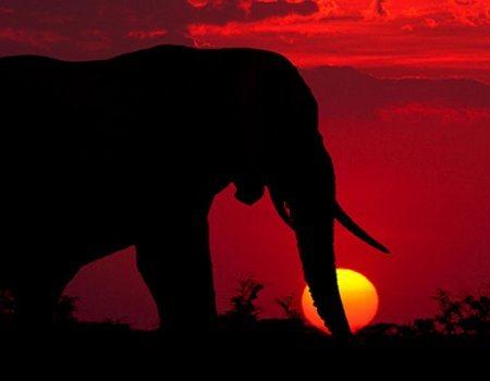 Foro elefante al atardecer