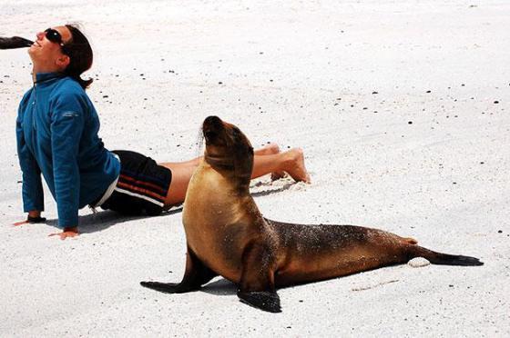 imagenes divertidas focas haciendo yoga
