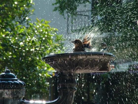 Fotografia de pajaro dandose un baña en una fuente