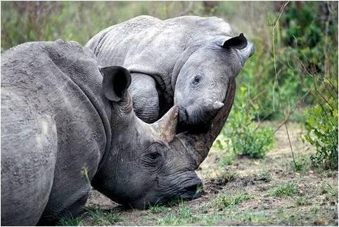 imajenes de rinocerontes