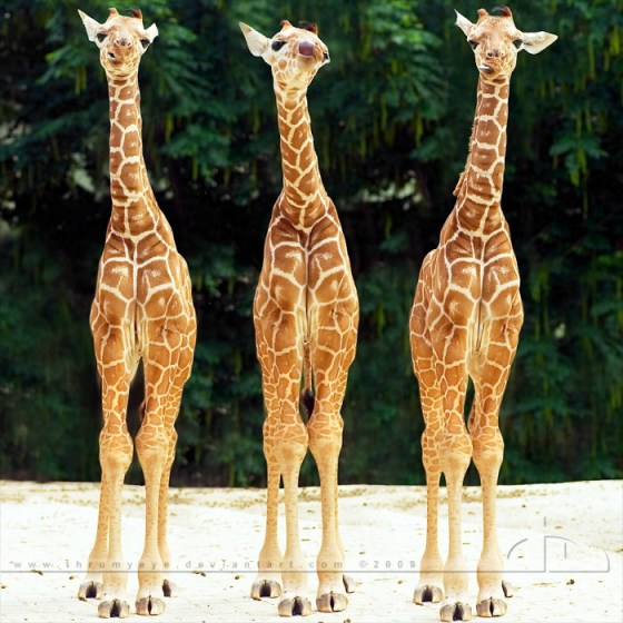 imagenes de jirafas