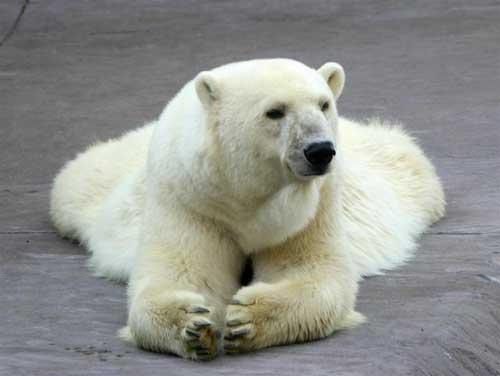 Fotografia oso polar relajado