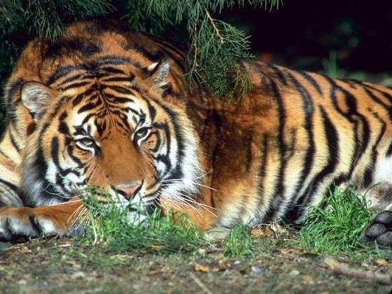 Fotografia tigre descansando