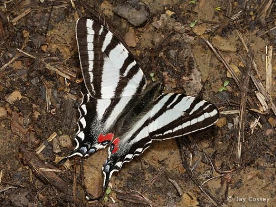 imagenes de mariposas blanco y negro
