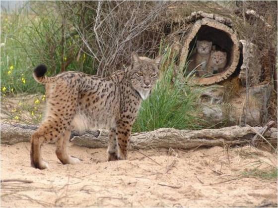 imagenes gato montes