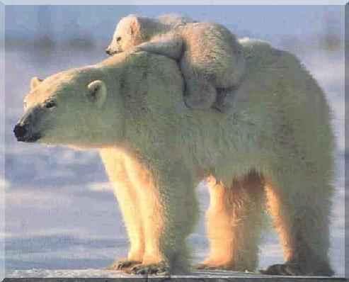 imagenes tiernas de osos polares