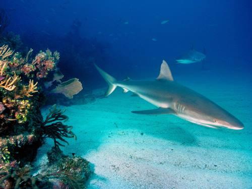 Imagen de tiburon bajo el mar