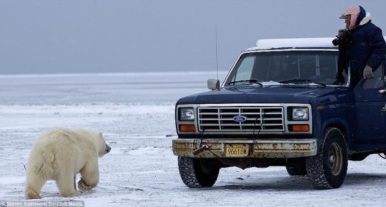 Fotografia oso polar y camioneta