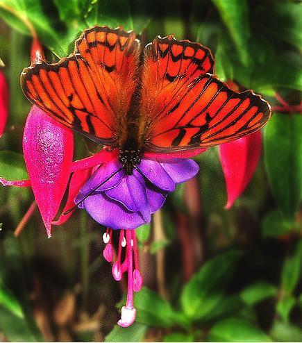 Fotografia hermosa mariposa roja