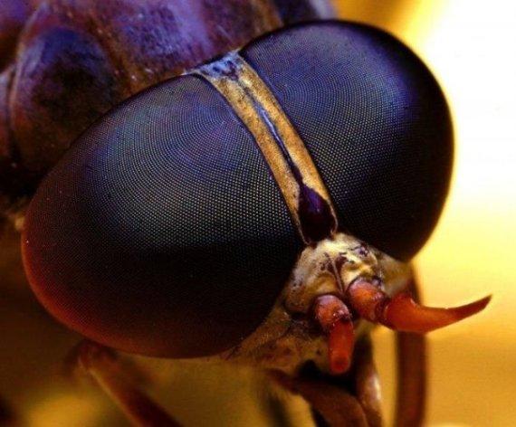 imagen de ojos de insectos
