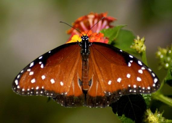 Imagenes de hermosa mariposa tonos cafes y anaranjados