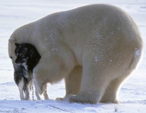 Imagenes de osos polares jugando con  perros