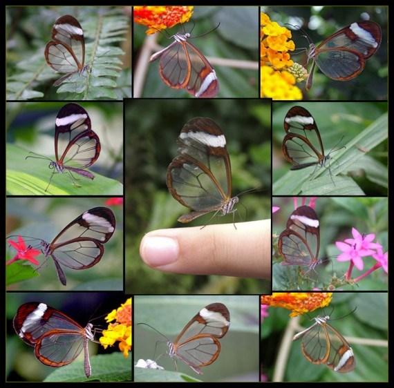 Imagenes de mariposas con alas transparentes
