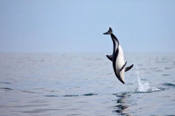 imajenes de delfines banco y negro saltando sobre el agua