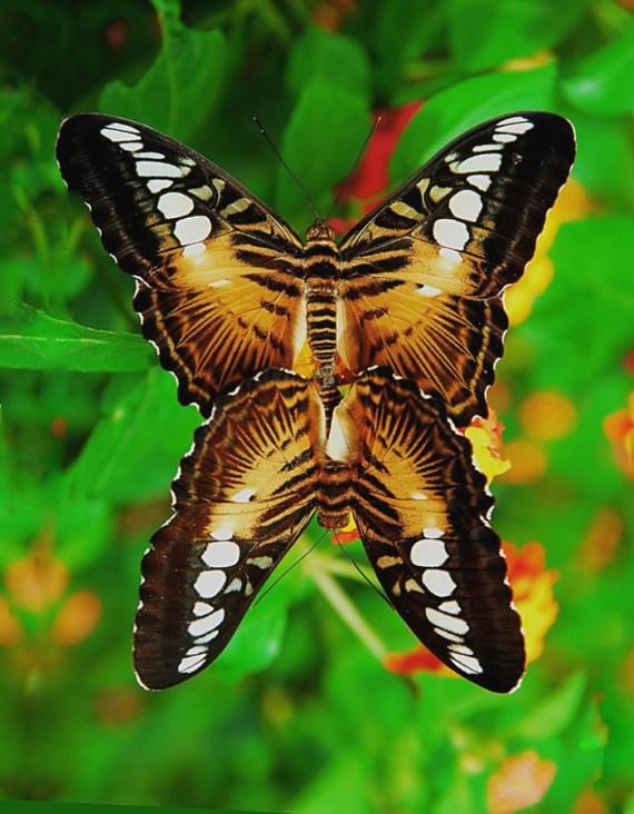 imajenes de mariposas