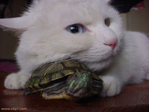 fotografia de gatito y tortuga