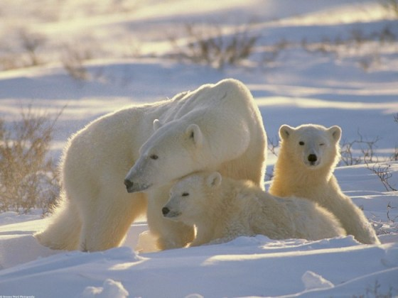 fotografia osa polar con sus dos crias
