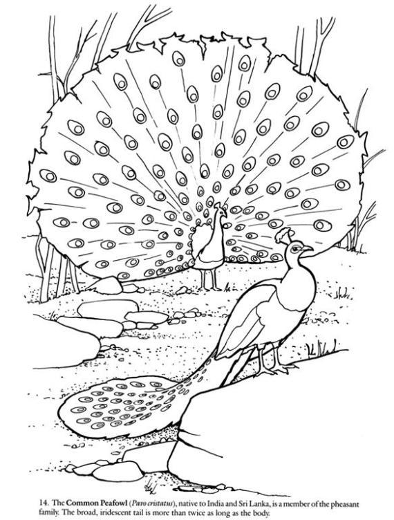 Dibujos para colorear pavo real