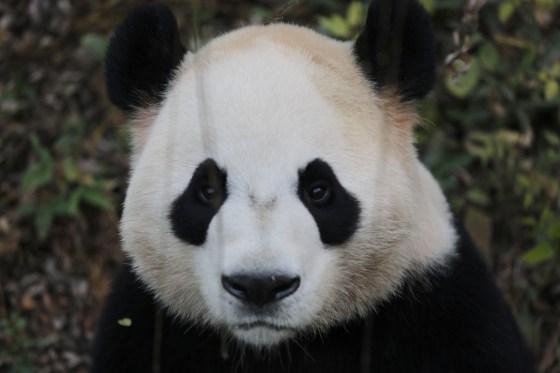 Imagen de oso panda - foto