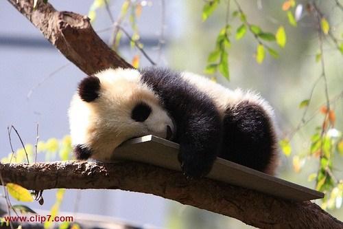 fotos de osos panda durmiendo