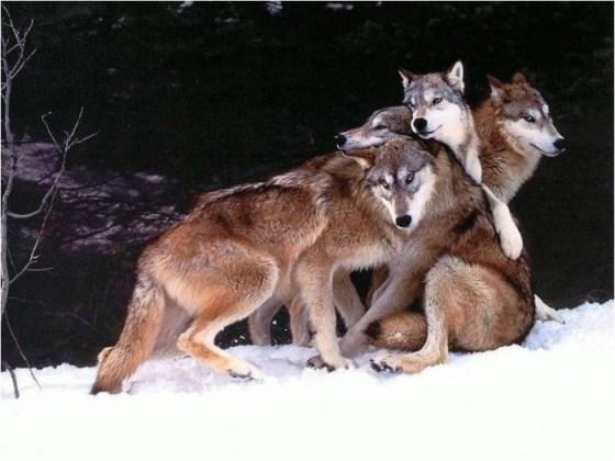 imagen de lobos en la nieve