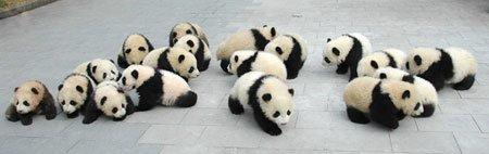 fotos de osos panda bebes