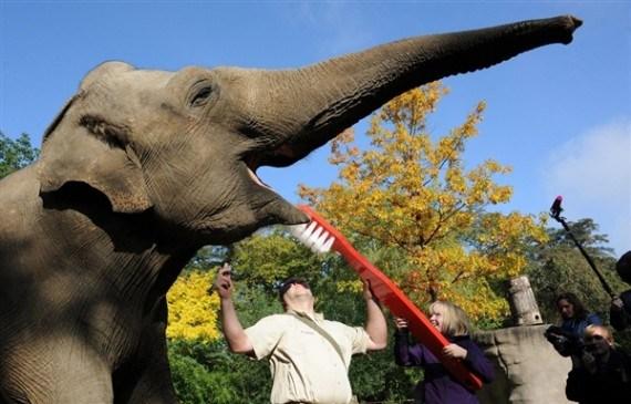 Imagen de lavado de dientes de elefante