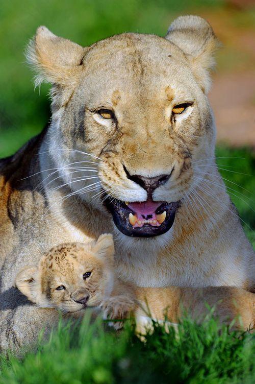 Imagen leona con su cachorro muy relajado