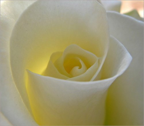 Imagen de hermosa rosa blanca