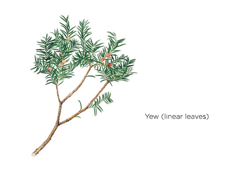 According to bonsai primer, common causes of falling bonsai leaves include natural leaf shedding, inadequate light and excessive watering. The Main Characteristics Of Conifers Klorane Botanical Foundation