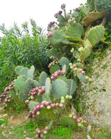 Riesenohrenkaktus mit Früchten