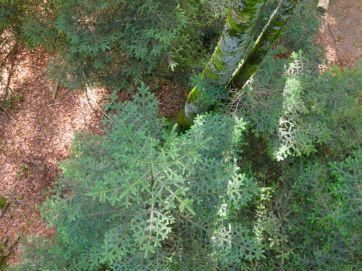 Hat schon mal wer einen Nadelbaum von oben gesehen?