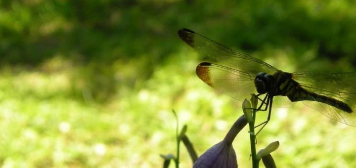 2007年8月25日蜻蛉