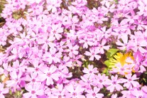 桜草の中からのぞく、タンポポの花。ピンクの絨毯の中の黄色のポイントが、なんだか映える。