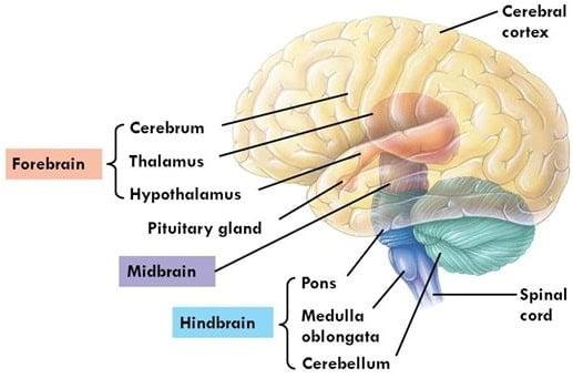 Creative Power of The Brain - forebrain