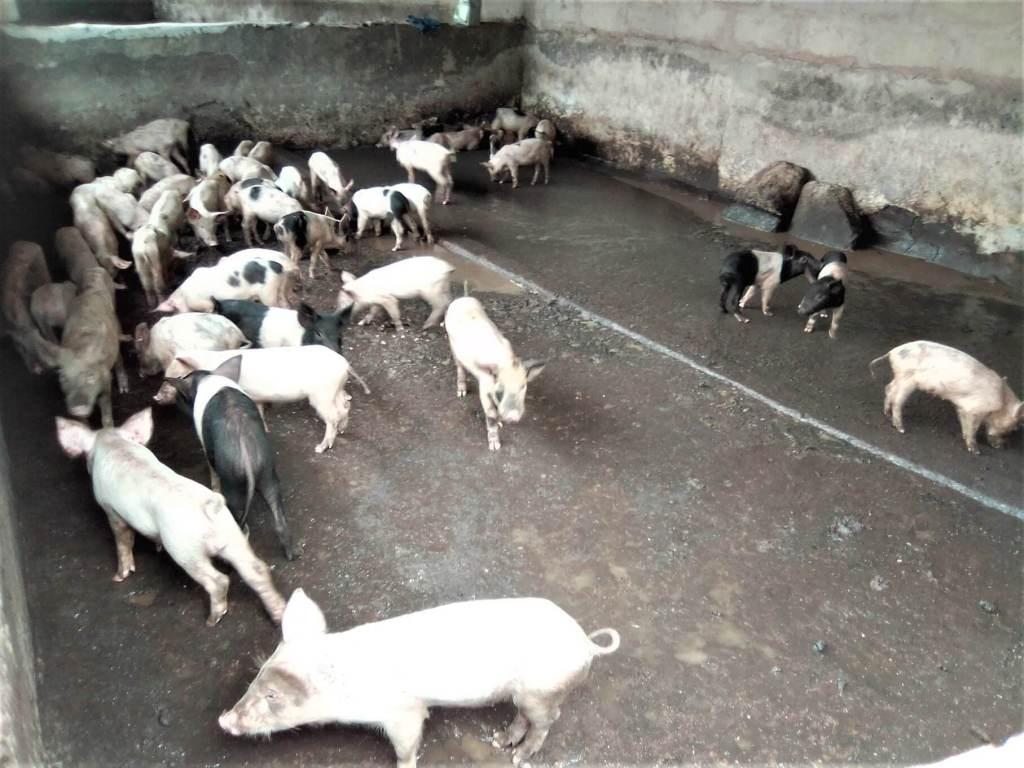 Pig Farming Business Plan (updated) 1