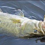Rattle cranks-Best lures for freshwater fishing