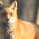 red-fox-featured-pic