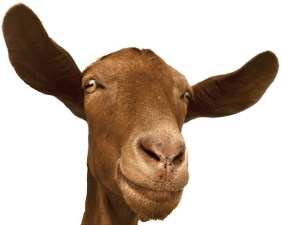 smiling-goat-1462931