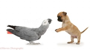 playful-chihuahua-pup-meets-grey-parrot-white-background-white-1526857149