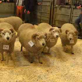 Fine Shetland rams