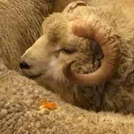 look at that face and those horns...and that fleece!