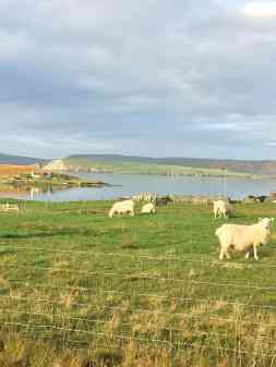 Sheep in Bressay