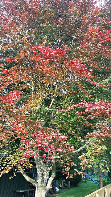 The colours of the tree in Autumn