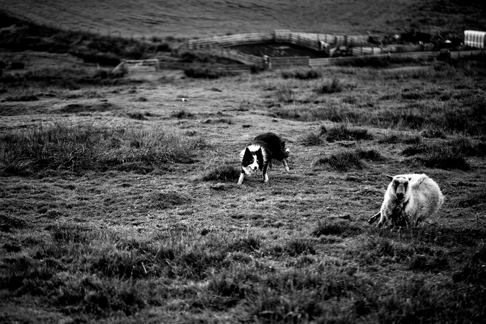 Ronnie Eunson's dog and sheep, photo © Tom Barr and used with kind permission