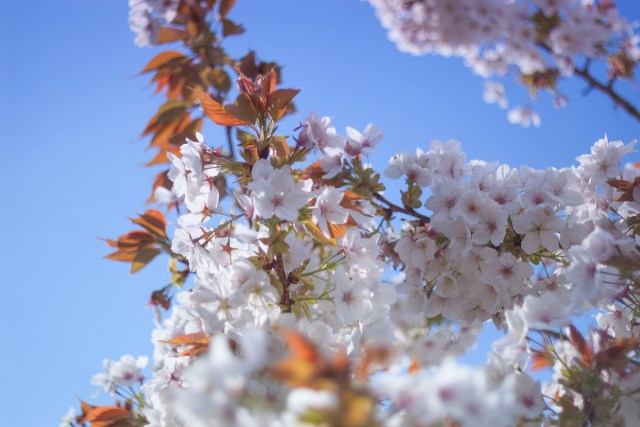 glorious cherry blossoms in full bloom against a blue sky, with lovely russet leaves