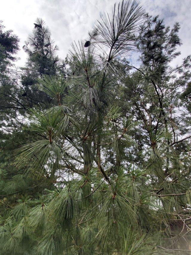 Himalayan White Pine