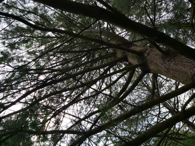 Looking up into the branches of the Himalayan White Pine