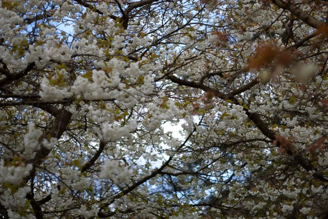 a profusion of lovely, lovely blooms from various cherry blossom trees, all present in a giant cloud with branches breaking them up like inky lines