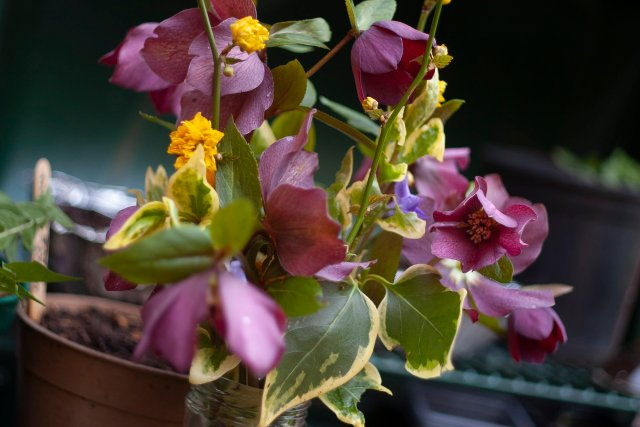 a bouquet of range/yellow pom-pom type flowers, periwinkle with little blue flowers, and dusky dark pink hellebores